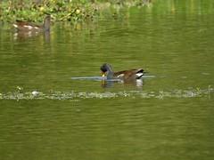 Gallinule poule d'eau (chriscrst photo66) Tags: bird animal oiseau gallinule poule deau lac verdure jeune nikoncoolpixp900 nourriture