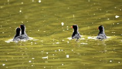 Looking out for Mum. (pstone646) Tags: babies birds moorhens water lake animals wildlife waterfowl wildfowl four chicks fauna