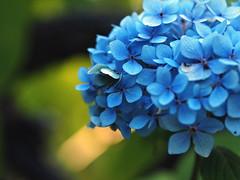 hydrangea (Johnson Cameraface) Tags: 2018 september autumn olympus omde1 em1 micro43 mzuiko 60mm macro f28 johnsoncameraface yorkshiresculpturepark yorkshire ysp hydrangea flower blue