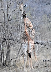Reach a bit more! (pstone646) Tags: giraffe animals wildlife africa southernafrica nature safari two fauna thornbush youngster southafrica mammals