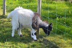 Hradastadir 25 (Krasivaya Liza) Tags: hradastadir horseback horse riding farm petting zoo goat goats yoga sheep horses mosfellbaer iceland icelandic country countryside mountains farmland animal animals