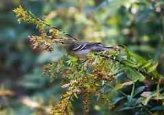 Blackpoll Warbler _ Setophaga striata (Kremlken) Tags: fallmigration warblers drab pennsylvania nikon500 birds birding birdwatching outdoors