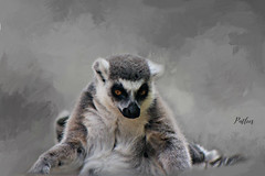 Lemur....(Explored) (Patlees) Tags: animal lemur zoo textured dt tt explored frontpage