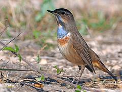Luscinia svecica (Ruiseñor pechiazul)  (33) (eb3alfmiguel) Tags: vecica luscinia pechiazul ruiseñor aves pajáros passeriformes turdidae hierba pájaro madera animal