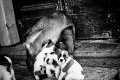 Ginevra e i suoi 9 cuccioli (andaradagio) Tags: andaradagio puppies cuccioli dogs cane miglioramicodelluomo ginevraandher9puppies ginevraeisuoi9cuccioli canon