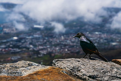 That's A Long Way Down (thisbrokenwheel) Tags: africa tablemountain climb landscape nature nationalpark clouds southafrica geology redwingedstarling hiking starling outdoors capetown bird travel sky mountain