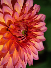 Dahlia X6 (David S Wilson) Tags: 2018 england flowers davidswilson olympuspenf ely floral lightroom leica2845mmmacro