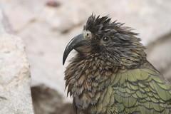 Kea (charliejb) Tags: bristol bristolzoo bristolzoogardens 2018 wildlife clifton bird feathered feathers beak green