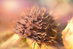 Autumn Treasure... (KissThePixel) Tags: autumn autumncolours autumnwalk autumnlight autumnmeadow treasure woodland light nature macro bokeh bokehlicious friday october seed seedpod spiky closeup nikon nikond750 artgrowninnature 50mm f14