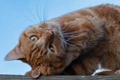 Can you do this? (Evoljo) Tags: dougal cat pet fence eyes fur whiskers ginger nose nikon d500
