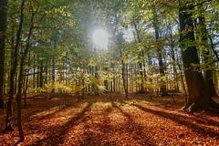 Herbstwald (dirklie65) Tags: wald forest trees bäume laub leaves autumn fall sonne gegenlicht blätter herbst carwitz feldberger seenlandschaft schatten shadows bunt colorfull