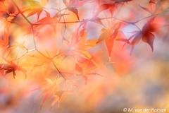 nature in fire (Monique vd Hoeven) Tags: arboretumdelutte overijssel fall colors autumn doubleexposure orange yellow
