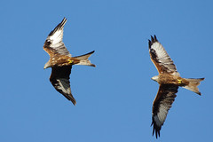 K32P8819c  Red Kites (chasing), Stilton, September 2018 (bobchappell55) Tags: bird wild wildlife nature stilton cambridgeshire redkite milvusmilvus