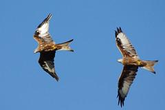 Photo of K32P8819c  Red Kites (chasing), Stilton, September 2018