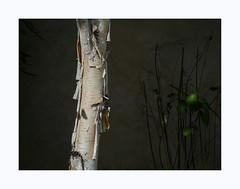 Faire céder les ténèbres (hélène chantemerle) Tags: arbre bouleau tronc écorce lumière ténèbres noir clairobscur plantes nature tree birch bark kight darkness black chiaroscuro plants