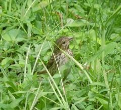 Bruant chanteur - Song sparrow.........Août 2018........DSCN30781 (Diane.G.) Tags: avianexcellence naturecarousel specanimal ngc coth coth5 c5 alittlebeauty éblouissantenature naturesgoldencarousel npc naturesplatinumcarousel realbutee faunaandflora treasuresofkeepyoureyesopen confidentialisthebest onceinyourlife ayezloeil lapetitegalerie fantasticnature photossansfrontières thesunshinegroup damniwishidtakenthat bestofdamn
