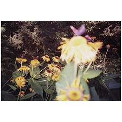 Butterflies. (laserdazed) Tags: analogue 35mm expiredfilm filmisnotdead istillshootfilm