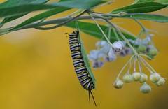 monarch butterfly caterpillar (gwuphd) Tags: nikon 70180mm f45 monarchbutterfly caterpillar micronikkor