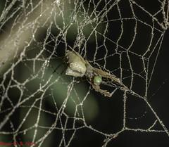 cf. Uloborus sp. ♀ - Cribellate Orb Weaver / Hackled-band Orb Weaver (Latreille, 1806) (A Sprinkle of Earth) Tags: animalia animals animais arthropoda arthropod arthropods artrópode artrópodes insecta insect insects inseto insetos arachnida arachnid arachnids aracnídeo aracnídeos spider spiders aranha aranhas cribellatespider cribellateorbweaver hackledbandorbweaver humpbackspider araneae opisthothelae entelegynae araneomorphae uloboroidea uloboridae uloborinae uloborus uloborussp sp nature natureza natural naturaleza naturalism naturalismo photonaturalism fotonaturalismo oscarneto asprinkleofearth spiritofphotography yellow amarela amarelo web spiderweb teia teiadearanha wild wildlife vida vidaselvagem biology biologia arachnology aracnologia fauna brasil brazil ceará fortaleza uloborid uloborids 2018 predator predador predatorxprey predadorxpresa black