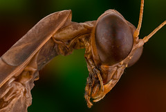 Mantidae (Mert Filiz) Tags: macro extrememacro focusstack micro photography closeup macrophotography nature wild insects bugs animal nikon ngc stackshot