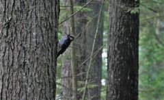 downy woodpecker (Dryobates pubescens) (jeslu) Tags: downy woodpecker dryobates pubescens panasonic dczs200
