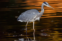 a Heron fishing at sunset (3/3) (Franck Zumella) Tags: fish fishing pecher under tree arbre heron hot chaud beak open bec ouvert nature animal summer été ete bird oiseau isle ile lake lac night nuit red rouge sunset couchant soleil sun light lumiere