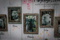 Bergen Goats (MBDGE >1.4 Million Views) Tags: norway bergen goat obama canon