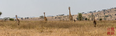 Maasai Giraffe (DragonSpeed) Tags: 28thkitsilanoscoutgroup 28thvancouverscoutgroup africanwildcatsexpeditions giraffacamelopardalistippelskirchi maasaigiraffe masaigiraffe safari scouts scoutscanada serengetinationalpark tanzania tanzaniaexpedition2018 venturerscouts venturers mammal simiyu tz