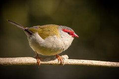 Red Browed Finch-1 (Sandosan) Tags: finch bird australian pentax pentaxk3ii south