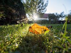 Autumn is here! (elkarrde) Tags: nature experiment wideangle ultrawideangle 7mm autumn colours colors autumncolors september 2018 september2018 autumn2018 closefocus bokeh depthoffield shallowdepthoffield shallowdof dof dofalicious bokehlicious ultrawideanglebokeh ultrawide panasonic lumix panasoniclumixdmcgx7 panasoniclumix dmcgx7 gx7 panasonicgx7 camera:brand=panasonic camera:model=dmcgx7 microfourthirds mirrorless camera:mount=microfourthirds camera:format=microfourthirds camera:brand=lumix 43 olympus olympuszuikodigital olympuszuikodigital714mm14ed olympuszuikodigitalshg shg superhighgrade olympuszuikodigitalsuperhighgrade714mm14ed zuikodigital 714mm 714 7144 lens:brand=olympus lens:model=zuikodigital714mm14ed lens:format=fourthirds lens:mount=fourthirds lens:focallength=714mm lens:maxaperture=4 croatia location:country=croatia jastrebarsko jaska location:city=jastrebarsko twop