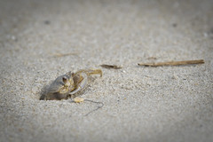 Sand Crab **** (rich0234) Tags: nature sandcrab capemaynj