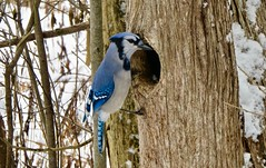 Hellooo - anyone home? (Meryl Raddatz) Tags: bird nature bluejay naturephotography wildlife canada blue