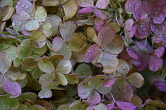 DSC_3022 (griecocathy) Tags: macro hortensia fleurs rose jaune vert marron beige gouttelette eau violine
