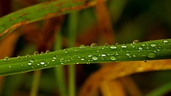 Autumn Gems (Bob's Digital Eye) Tags: autumn autumncolour bobsdigitaleye canon canonefs55250mmf456isstm depthoffield droplets fall fallcolor foliage leaves october2018 raindrops t3i water flickr flicker laquintaessenza