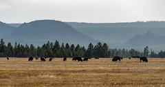 Yellowstone Buffalo (jackson.w.f.chu) Tags: americanmidwest yellowstonenationalpark montana wyoming cowboy buffalo hydrothermalvent pentax landscape