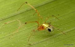 Long-jawed orb weaver, Tetragnathidae (Ecuador Megadiverso) Tags: andreaskay arachnida araneidae ecuador tetragnathidae mindo orbweaver rainforest reservalascotingas spider tropic