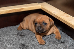 C00A9923.jpg (pka78-2) Tags: pentu rölli puppy röllivuoren staffie hulda staffi staffodshirebullterrier hpentue pennut