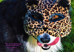 ScareDeCat (ASHA THE BORDER COLLiE) Tags: halloween mask scardecat leopard cougar funny dog picture ashathestarofcountydown conne kells county down photography