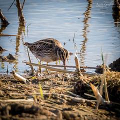 Jack Snipe (Photography - KG's) Tags: wildlife reserve bird jacksnipe snipe animals summerleys birds nature