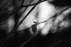 more minimalism (EllaH52) Tags: autumn afternoon dark branches twigs leaf blackwhite greyscale monochrome bokeh minimalism simplicity light shadows