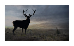 RED DEER (Neil Shaw Images) Tags: