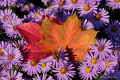 Sorbst....Sommer und Herbst gleichzeitig (Sockenhummel) Tags: blüten bundesplatz astern blumen lila herbst blatt leave autumn fall bunt natur biene sonne fuji xt10