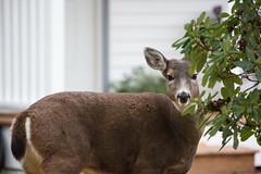 FY1 (beelzebub2011) Tags: canada britishcolumbia northvancouver street deer wildlife