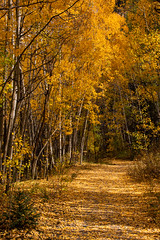 Follow the Yellow Leaf Road. (Nancy King Photography) Tags: trees road aspens trail leaves aspentrees goldenleaves fall aspenleaves colorado