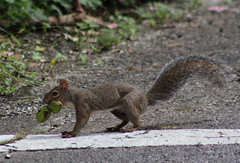 squirrel with nuts (im2fast4u2c) Tags: squirrel with nuts sheldonlakestatepark family sciuridae animal w pecans