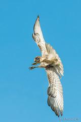 A strong side wind (Earl Reinink) Tags: raptor hawk reinink redtailedhawk utudzuedza