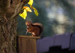 Eichhörnchen bei der Fell Pflege (KaAuenwasser83) Tags: eichhörnchen jung jungtier tier fell pflege fellpflege nistkasten baum herbst braunrot braun serie reihe fotografie