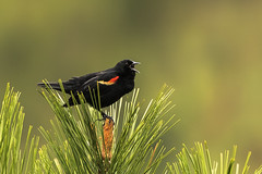 Territorial Song (Brown Acres Mark) Tags: redwingedblackbird agelaiusphoeniceus breeding male littlehyattlake cascademountains jacksoncounty oregon usa markheatherington