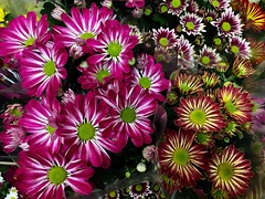 #Autumn #HappyWeekendAll (RenateEurope) Tags: 2018 renateeurope iphoneography flowers flora autumn happyweekendall gazanien awesomeblossoms