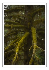 All deck out and no place to go (Krasne oci) Tags: trees forest nature moss pacificnorthwest green evergreen evabartos washingtonstate painterly texturedphoto artphotography fineart